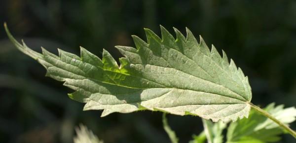 סרפד חולה Urtica kioviensis Rogow.