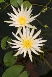 לפרחים עלי כותרת רבים צרים לבנים או סגולים בהירים