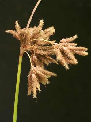 אגמון החוף Scirpus litoralis Schrad.