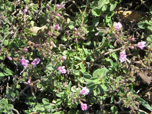 Clinopodium insulare (Candargy) Govaerts