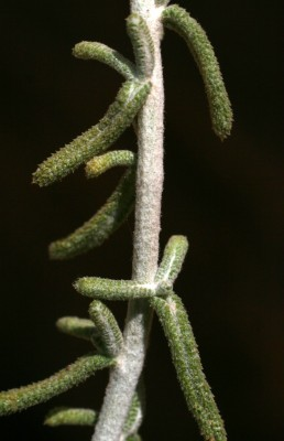 Achillea falcata L.