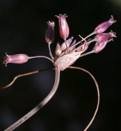 העטיף דמוי כד, התפרחת בעלת 12-7 פרחים. צבע עלי-העטיף ורוד ארגמן. צמחי החרמון.