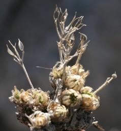 עשבים רב-שנתיים. העלים מכוסים זיפים. הפרי דמוי חרוט או פגיון, מוצר בראשו.