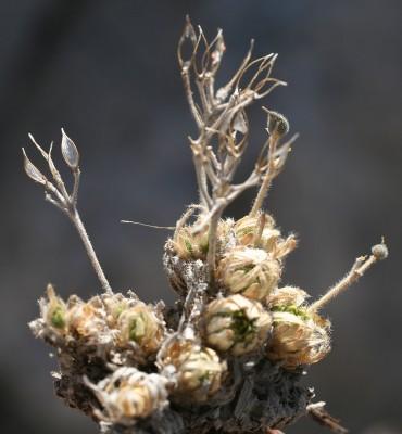 דרבה מחודדת Draba oxycarpa Boiss.