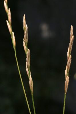 אלומית הלבנון Elymus libanoticus (Hack.) Melderis