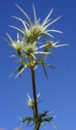 גובה הצמח עד 40 ס