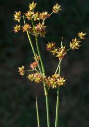 הפרחים ערוכים בקרקפות מעטות פרחים דמויות חצי כדור.
