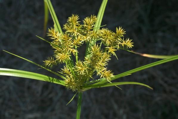 גומא ריחני Cyperus odoratus L.