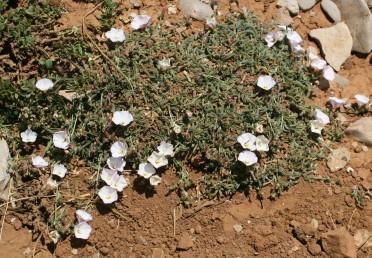 עשב רב-שנתי של החרמון, נמוך, מרובה גבעולים קצרים, דחוסים ומהודקים אל הקרקע.