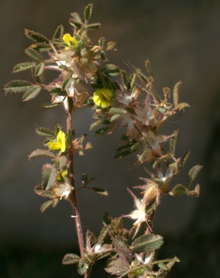 שברק פעוט Ononis pusilla L.