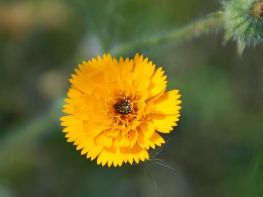 Picris asplenioides L.