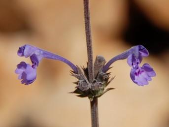 הצמח ירוק, בעל שערות דלילות. צבע הכותרת כחול-סגול, אורכה  30 מ