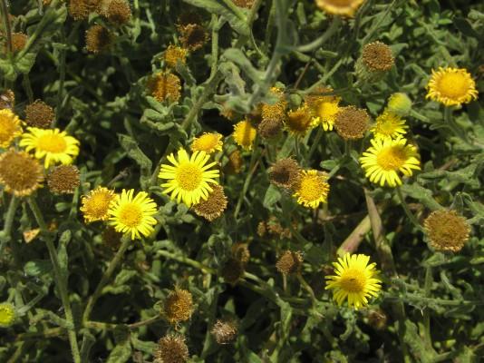 פרעושית משלשלת Pulicaria dysenterica (L.) Bernh.