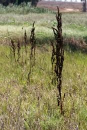 דורי הפירות סמוכים זה לזה וכל ענפי התפרחת הדוקים לגבעול ומהווים כעין שיבולת צפופה וחסרת עלים.
