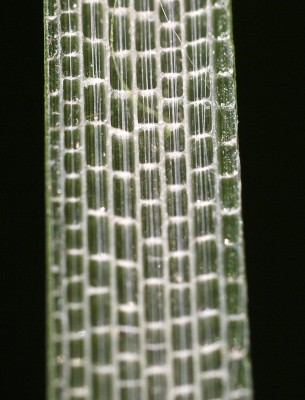 סוף צר-עלים Typha angustifolia L.