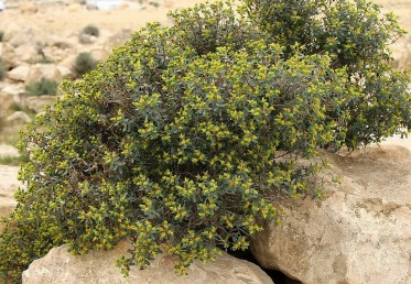 בני-שיח הגדלים בסדקי סלעים במדבר, צבע הגבעולים הסמוכים לתפרחת אדמדם.