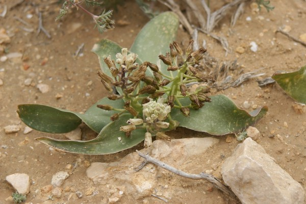 זמזומית זהרי Bellevalia zoharyi Feinbrun