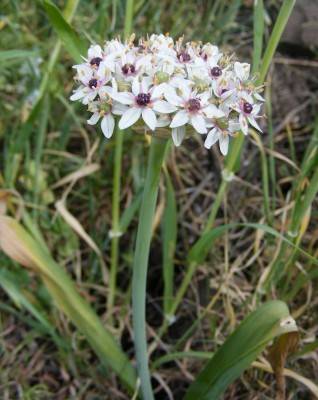 שום שחור Allium basalticum Fragman & R.M.Fritsch