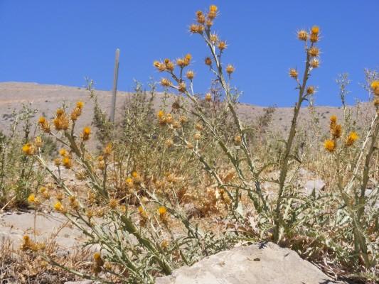 Centaurea onopordifolia Boiss.