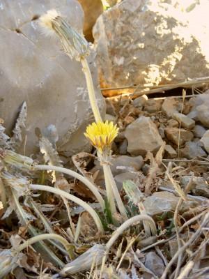 שינן סורי Taraxacum syriacum Boiss.