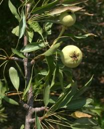 העלה דמוי אזמל, אורך הטרף עד פי 2 מהפטוטרת. הפרי דומה לפרי האגס התרבותי.