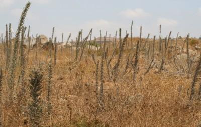 עשבים דו-שנתיים או רב-שנתיים בעלי גבעול זקוף; גובהו 200-60 ס