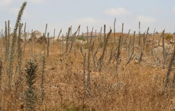 עכנאי מגובב Echium glomeratum Poir.