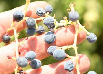 הפירות ענבים קטנים כדוריים בצבע סגול כהה מכוסה בחומר לבן.