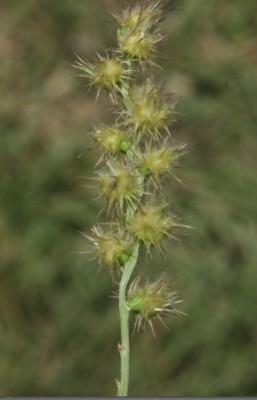 Cenchrus longispinus (Hack.) Fernald