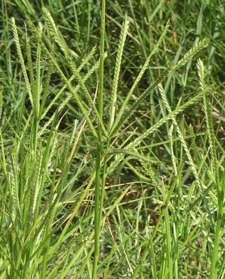 Eleusine indica (L.) J.Gaertn.