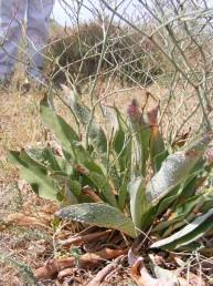 העלים ערוכים בשושנת, אורכם 20-5 ס