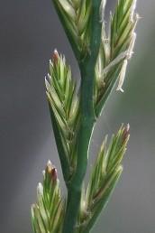 השיבוליות בנות 8-3 (-11) פרחים. צמח חד-שנתי שכיח מאוד.