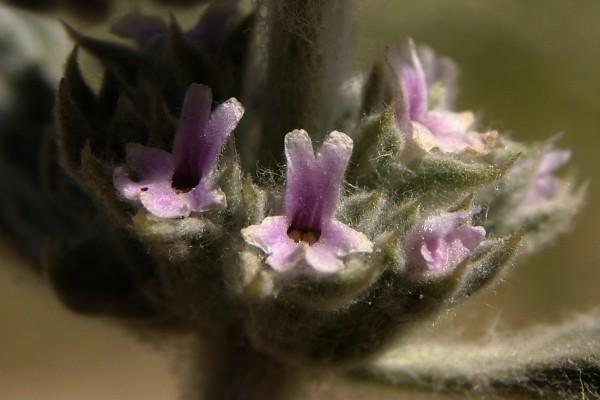 Marrubium alysson L.