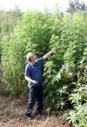 עשב פלשני יוצר עומדים צפופים בקרבת נחל אלכסנדר. גובה הצמחים מגיע לעתים ל-4 מ'.