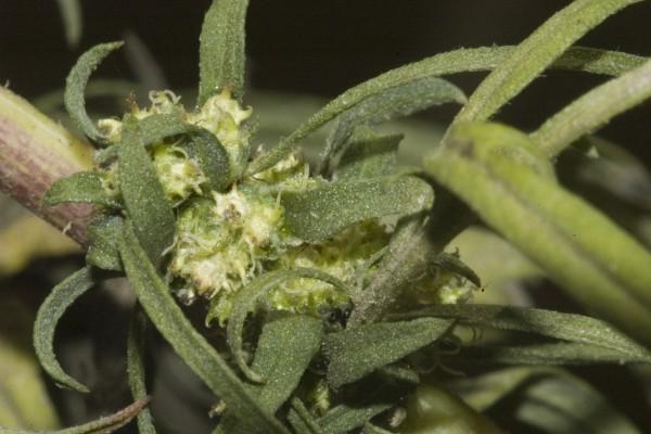 אמברוסיה מכונסת Ambrosia confertiflora DC.