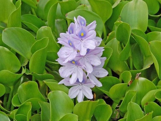 איכהורניה עבת-רגל Eichhornia crassipes Solms