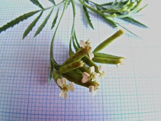 טגטס קטן Tagetes minuta L.