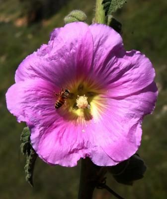 Alcea setosa (Boiss.) Alef.