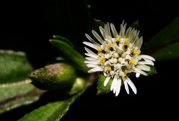 אל-ציצית לבנה Eclipta prostrata (L.) L.