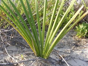 טרפי העלים בעלי קרין. בישראל ידוע רק מגוש יחיד בין נחל אלכסנדר ומכמורת. באדום גדל על מי מעיינות בסמוך לערבה.