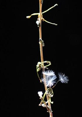 חסה רותמית Lactuca saligna L.