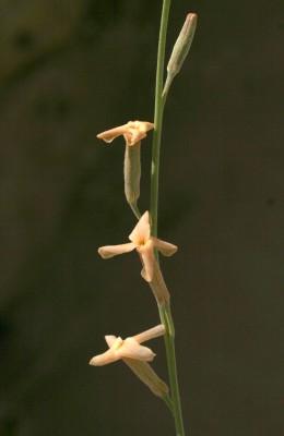 Farsetia aegyptia Turra
