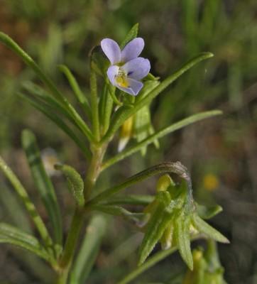 סיגל תמים Viola pentadactyla Fenzl