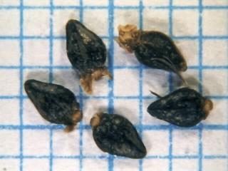 פרתניון אפיל Parthenium hysterophorus L.