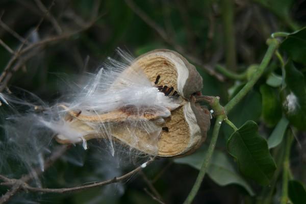 ארויה משיינית Araujia sericifera Brot.