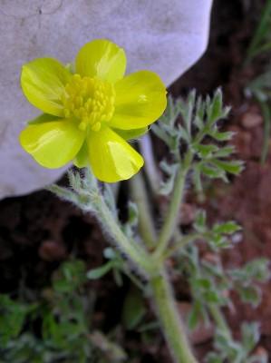 Ranunculus millefolius Banks & Sol.