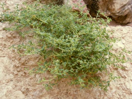 מלוח קטן-פרי Atriplex suberecta Verd.