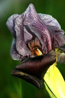 אירוס הגלבוע Iris haynei Baker