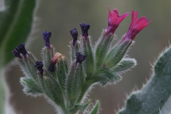 Anchusa undulata L.
