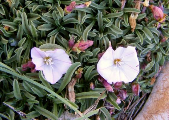 חבלבל הלבנון Convolvulus libanoticus Boiss.